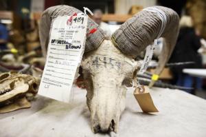 sheep_michael_brown_auction